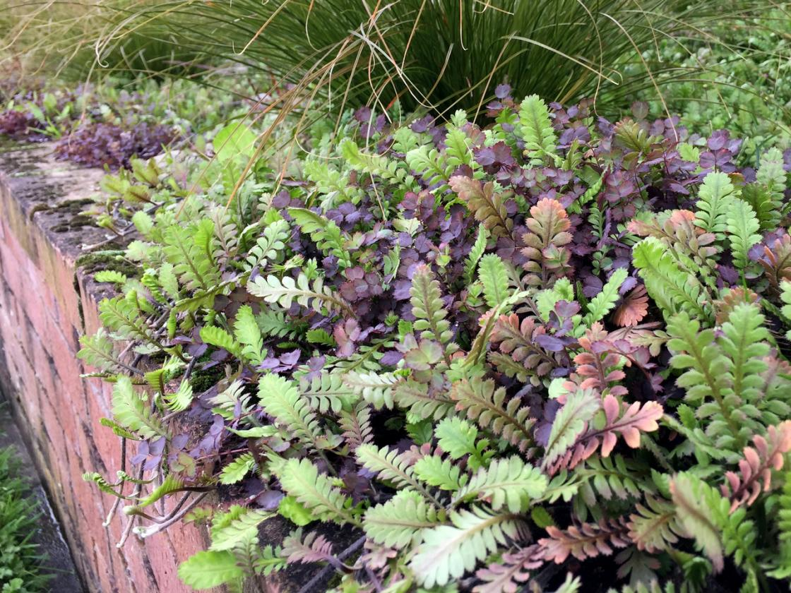 Purple (Acaena inermis) and green (Leptinella dioca 'Giant') groundcovers provide strong contrasting colour. They are both vigorous spreaders and do a great job of suppressing weeds.