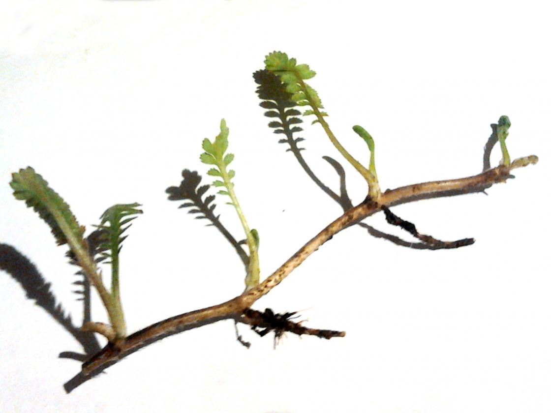 Leptinella dioica 'Giant' showing stolons and roots