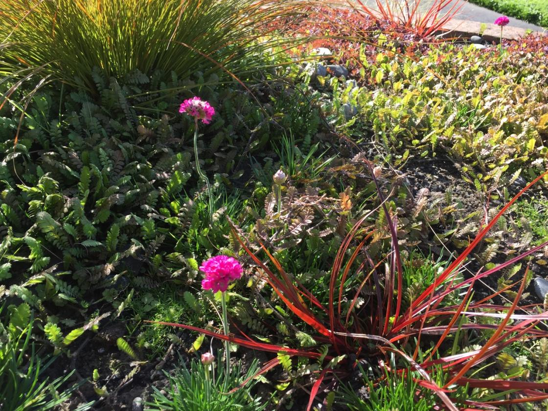Update 2017-05-17: Armeria maritima has pink pompom flowers. They grow from seeds scattered at the time of planting. The red grass is Carex uncinata (formerly Uncinia uncinata).