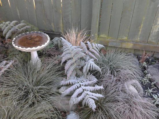 Cyathea dealbata covered in frost