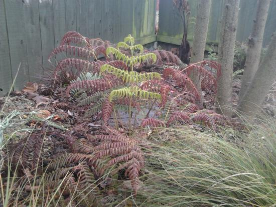 Cyathea dealbata putting out a new frond in spring.