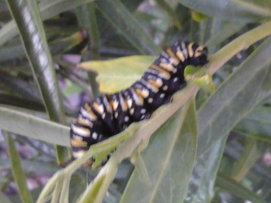 Danaus plexippus (Monarch) caterpillar