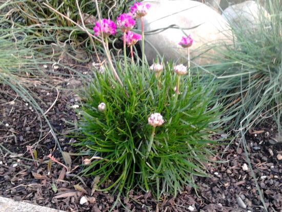Armeria maritima coming into flower.