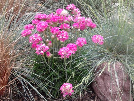 Armeria maritima in flower.